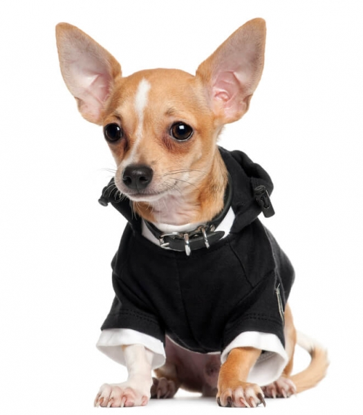 What Is The Best Dog Food For Chihuahuas