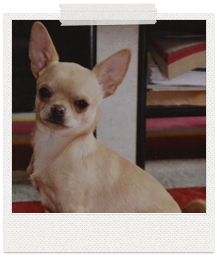 shorthaired chihuahua sitting