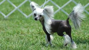 Chinese crested chihuahua ancestory